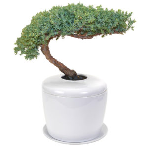 Traditional Windswept Juniper Bonsai Tree Juniper Procumbens Nana And Porcelain Ceramic Cremation Urnwith Matching Humidity Drip Tray