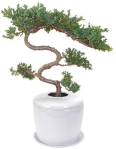 Trained & Tiered Juniper Tree (juniper procumbens nana)
