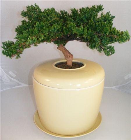 Monterey Juniper Preserved Bonsai Tree (Not a Living Tree)