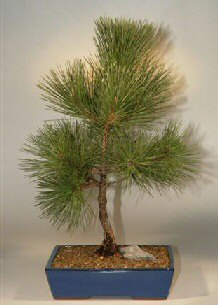 Japanese Black Pine Bonsai Tree 17 X15 X27 Pinus Thunbergii Mikawa