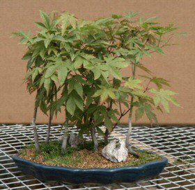 Japanese Maple Forest Bonsai Tree 12 X 12 X 19 Acer Palmatum