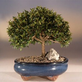 Brush Cherry Bonsai Tree Eugenia Myrtifolia