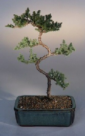 Juniper Karate Kid Tree (juniper procumbens nana)