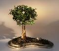 Baby Jade on Rock Slab Bonsai Tree<br><i>(Portlacaria Afra)</i>