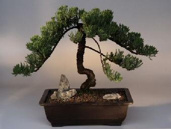Juniper (juniper procumbens nana)