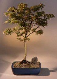 5Japanese Maple (acer palmatum 'dwarf pygmy')