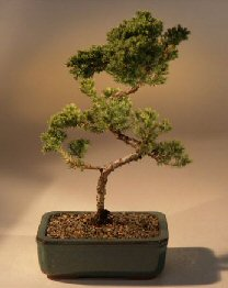 Juniper Karate Kid Bonsai Tree (juniper procumbens