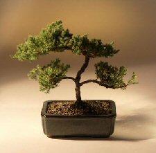Juniper Karate Kid Bonsai Tree (juniper procumbens