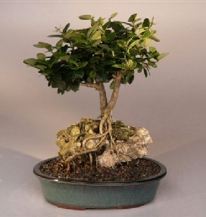 Flowering Plum Bonsai Treeroots Growing Over Rock Carissa Macrocarpa