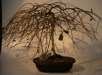 Weeping Pussy Willow Bonsai Tree Salix Caprea Kilmarnock