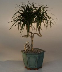 Bonsai Dracaena Tree Care Bonsai Tree