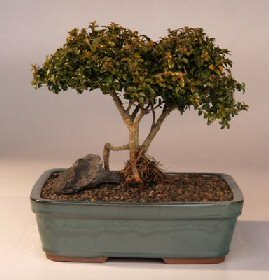 Japanese Kingsville Boxwood Bonsai Tree Twin Trunk With Raised Roots Buxus Microphylla Compacta