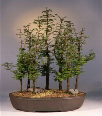 Dawn Redwood Bonsai Tree Metasequoia Glyptostroboides
