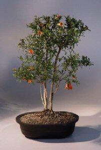 Flowering Dwarf Pomegranate Bonsai Tree Punica Granatum