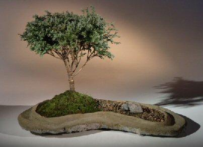 Blue Moss Cypress Bonsai Tree Rock Slab Planting Chamecyparis Glauca Minima