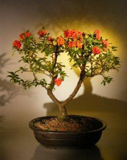 Flowering Pyracantha Bonsai Tree (pyracantha 'mohave')