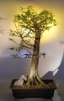 Bald Cypress Bonsai Tree Taxodium Distichum