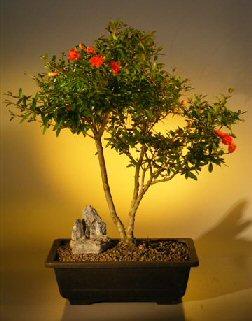Flowering Dwarf Pomegranate Bonsai Tree Punica Granatum