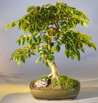 Korean Hornbeam Bonsai Tree Carpinus Coreana