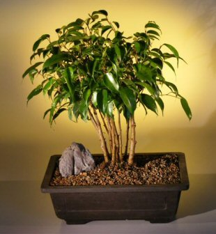 ficus bonsai treeforest group ficus benjamina. Black Bedroom Furniture Sets. Home Design Ideas