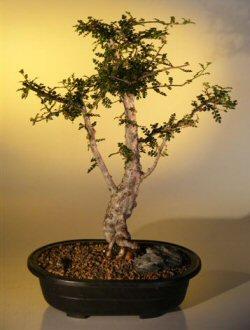Jabily Bonsai Tree Operculicarya Decaryi