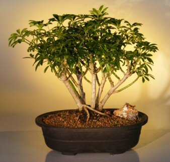 Hawaiian Umbrella Bonsai Tree - Multi-Trunk Style (arboricola schefflera)