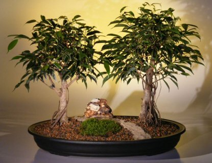 Ficus Bonsai Tree - Double (ficus exotica)