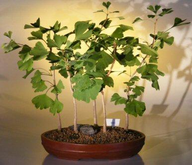 ginkgo bonsai tree ginkgo biloba. Black Bedroom Furniture Sets. Home Design Ideas