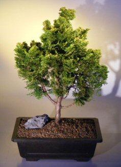 Golden Hinoki Cypress Chamecyparis Obtusa Compacta Aurea