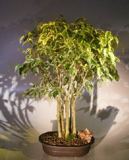 Ficus Bonsai Tree - Variegated Forest Group (ficus benjamina )