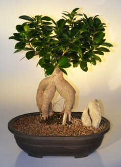 Ginseng Ficus Bonsai Tree Ficus Retusa