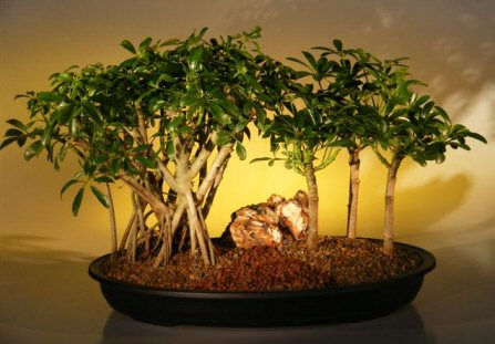 Hawaiian Umbrella Bonsai Tree - Banyan Style Three (3) Tree Group ( arboricola schefflera )