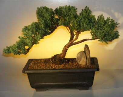 Juniper Bonsai Tree Windswept Style Juniper Procumbens Nana