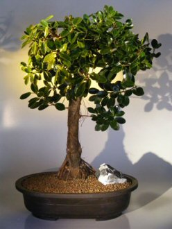 Green Emerald Ficus Bonsai Tree (ficus microcarpa)