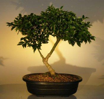 Holly Bonsai Tree Dwarf Ilex