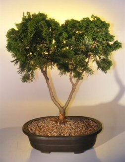 Hinoki Cypress Bonsai Tree  (chamecyparis gracillis)