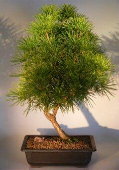 Japanese Umbrella Pine   23 x 20 x 33  (sciadopitys verticillata)