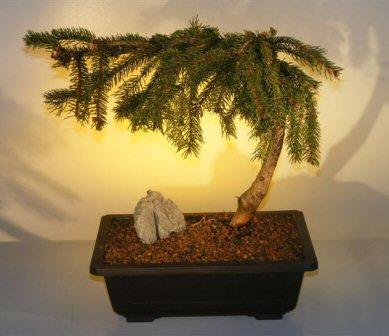 Weeping Lebanon Cedar Bonsai Tree Cedrus Libani