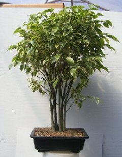 Ficus Bonsai Tree Forest Group - Variegated (ficus benjamina)
