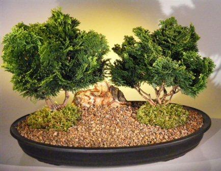 Hinoki Cypress Bonsai Tree Two Tree Planting Chamecyparis Obtusa Nana