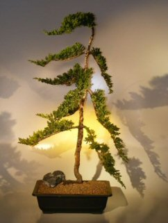 Juniper Bonsai Tree<br><i>(juniper procumbens nana)</i>