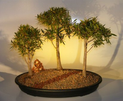 Willow Leaf Ficus Bonsai Tree Three Tree Forest Group (nerifolia/salicafolia)
