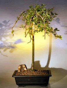 Weeping Pussy Willow Bonsai Tree   (salix caprea 'kilmarnock')