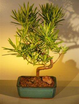 Podocarpus Bonsai Tree  (podocarpus macrophyllus)