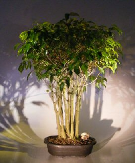Ficus Bonsai Tree Forest Group (ficus benjamina)