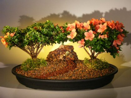 Flowering Azalea Bonsai Tree - Double (satzuki chinzan)