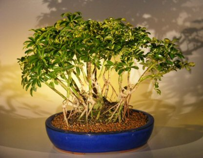 Hawaiian Umbrella Bonsai Tree Variegated Banyan Style ( arboricola schefflera )