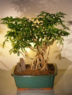 Hawaiian Umbrella Bonsai Tree Banyan Style ( arboricola schefflera )