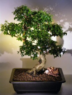 Flowering Ligustrum Bonsai Tree Ligustrum Lucidum