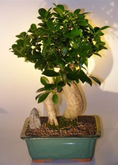 Ginseng Ficus Bonsai Tree (ficus retusa)